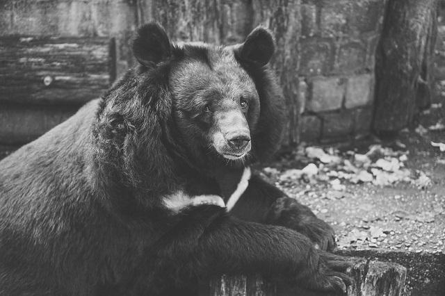black-bear-dream