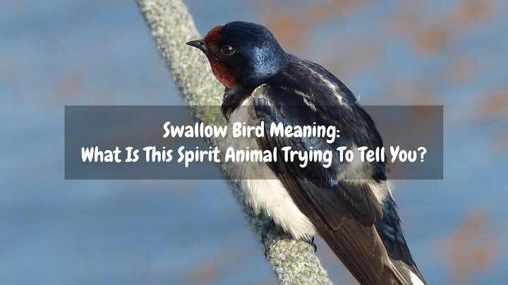 swallow bird meaning