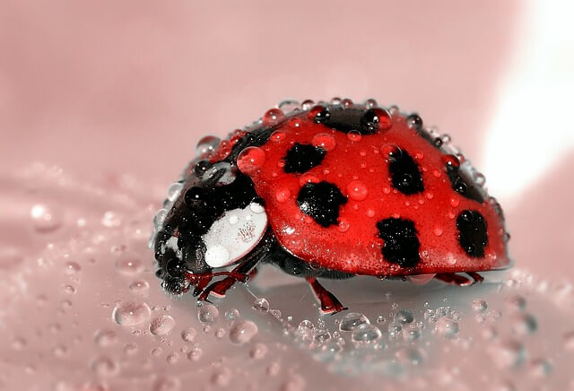 Are LadyBugs Good Luck: The Truth
