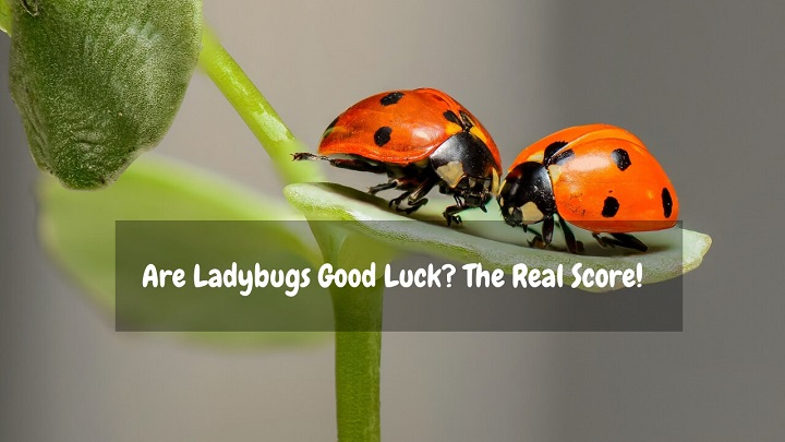 are ladybugs good luck