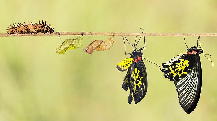 butterflies transformation