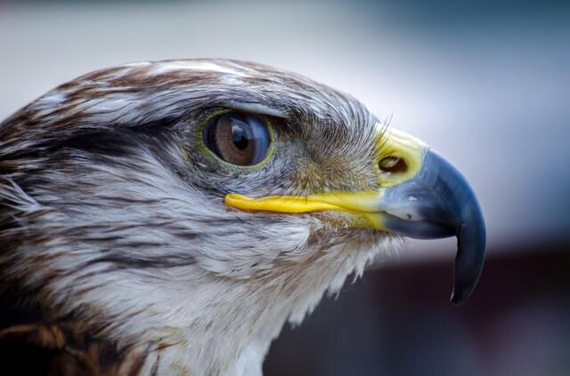 Falcon Meaning and Symbolism