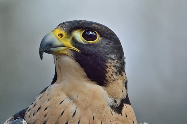 Falcon Meaning: Peregrine Falcon Symbolism