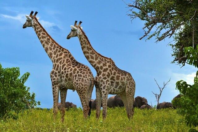 Giraffe Symbolism: Meanings and Interpretations