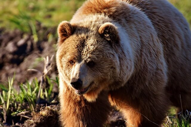 Brown Bear Dream Meaning