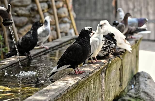 pigeon totem
