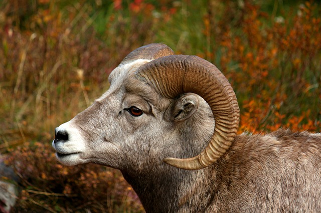 spiritual meaning of ram