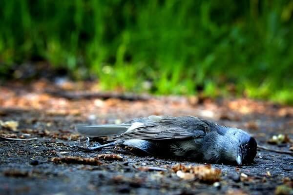 Meaning Of Dead Bird In Yard