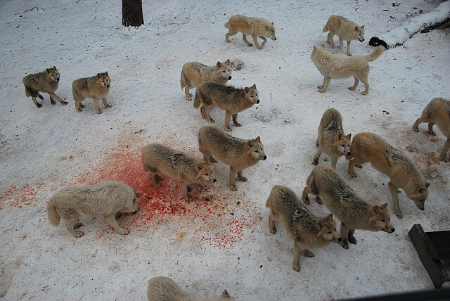 Dream Of Being Chased By A White Wolf