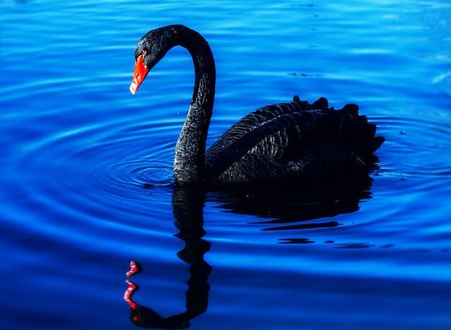 Black Swan Explanation