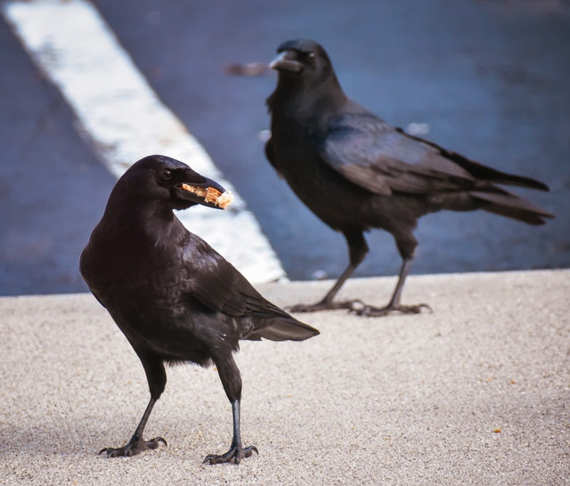 Crow cawing outside my window - Crows cawing good or bad