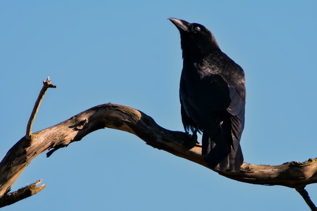 Crow cawing outside my window - Crows Cawing In The Morning Meaning