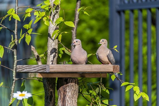 Spiritual Meaning Of A Pair Of Doves -Spiritual Meaning Of A Pair Of Mourning Doves