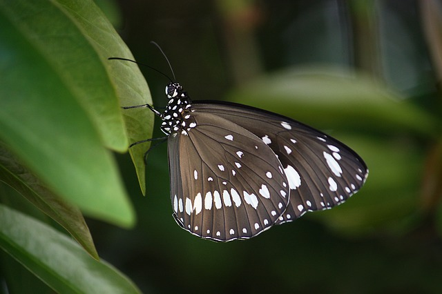 Spiritual meaning of butterfly colors - Brown butterfly