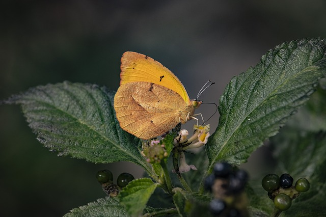Spiritual meaning of butterfly colors - Yellow butterfly