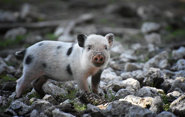 Pig symbolism - Cleverness