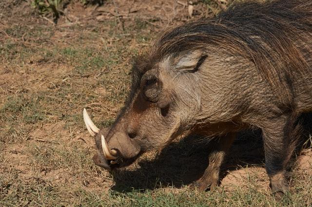 Pig symbolism - Masculinity (Boars)