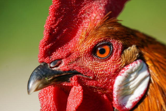Dream About Seeing A Rooster